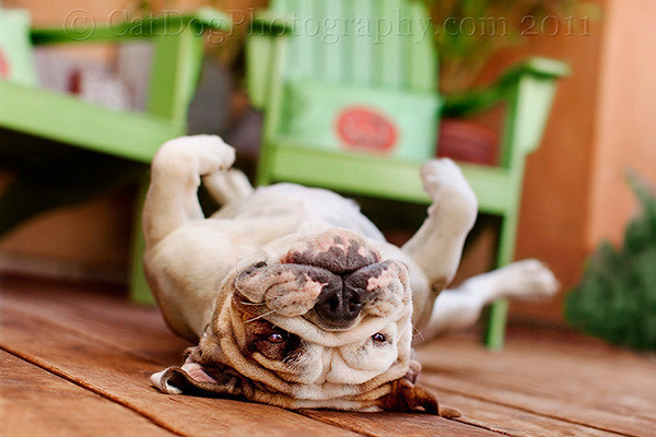Piggy the Bulldog by Gary Parker - All Rights Reserved